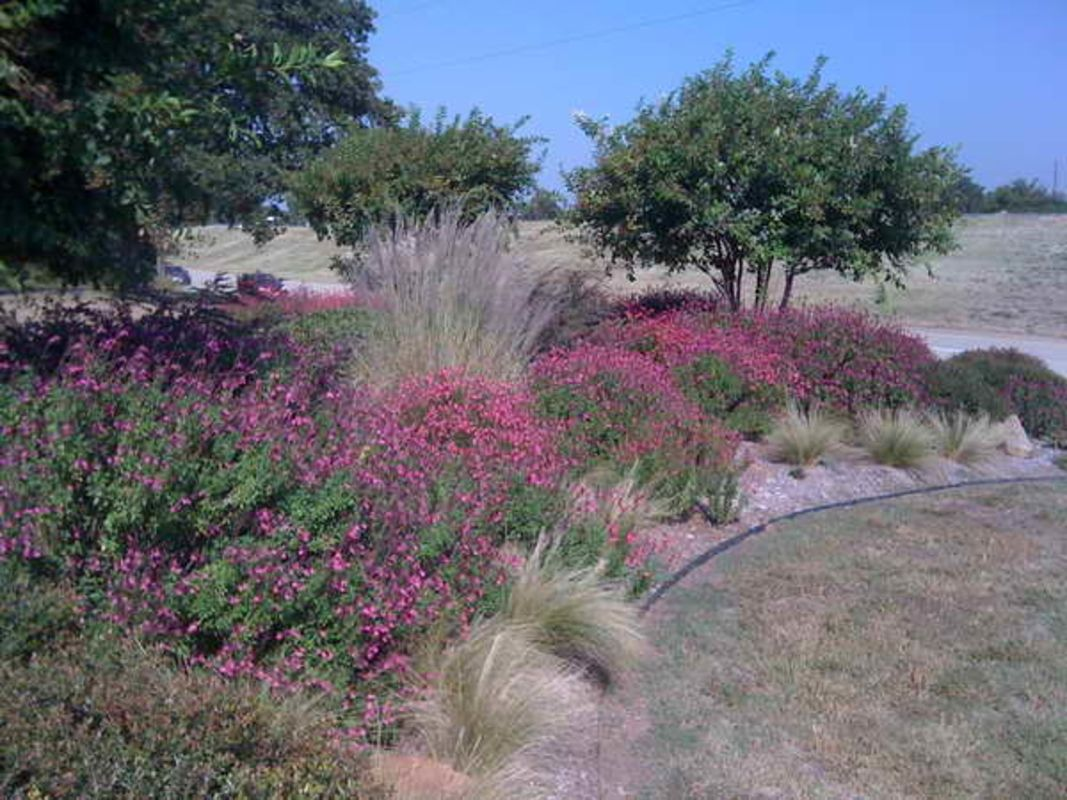 Pink Muhly Grass With Purple Flowers Summer Purple In The Garden