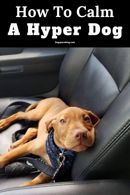 Top 5 Ways To Calm Hyper Dogs In 2020 Vizsla Dogs Vizsla Dogs