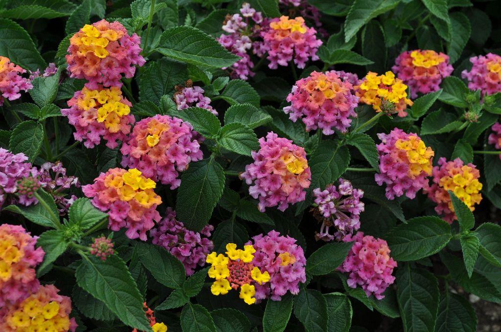 The 10 Best Lantana Landscaping In 2020 Heat Tolerant Plants Drought Tolerant Garden Plants