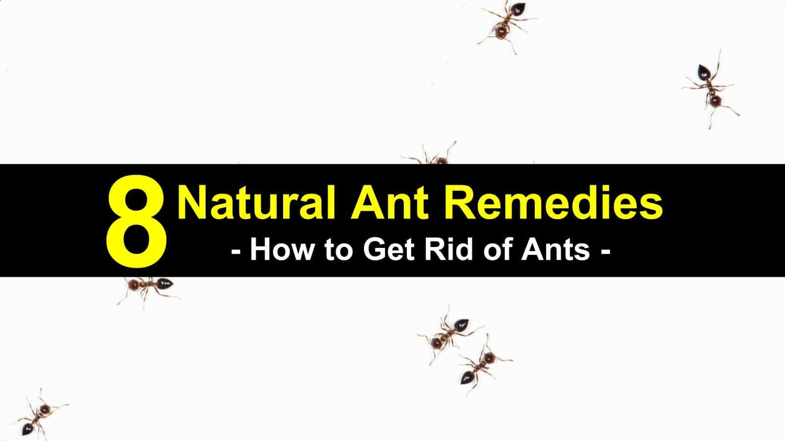 8 Natural Ways To Get Rid Of Ants Get Rid Of Ants Rid Of Ants