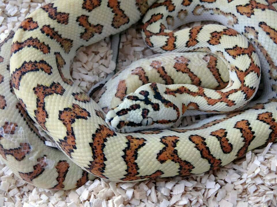 Beautiful Jag Carpet Python With Images Cute Snake Amphibians