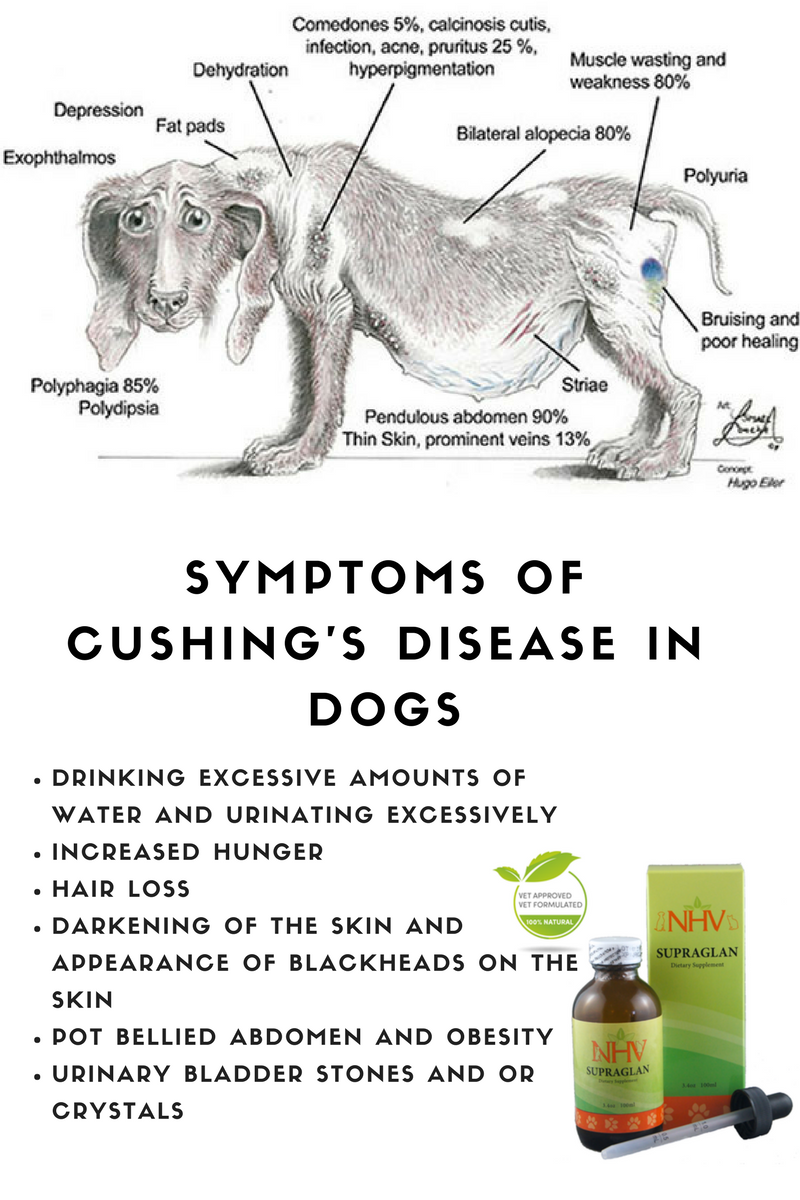 Symptoms Of Cushing S Disease Or Hyperadrenocorticism In Dogs It Is An Endocrine Disease Resulting In A Set Of Vet Medicine Vet Tech Student Veterinary Tech