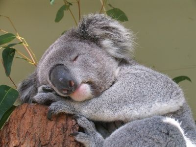Koala Facts They are the only mammal other than primates to have ...