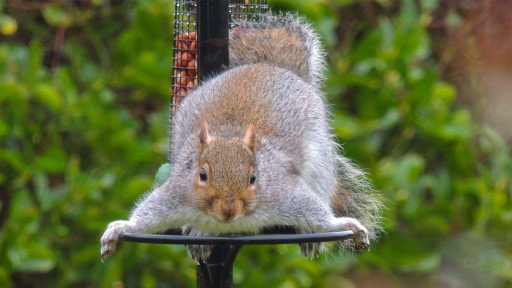 e7fba255be001d50912020e24e003cd2 - How To Get Rid Of Squirrels In My Ceiling