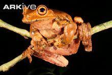 Ecnomiohyla fimbrimembra (Fringe-limbed treefrog)