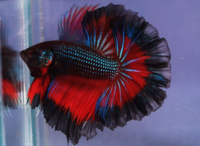 Amazing wildfire half moon siamese fighting fish how to for How to take care of beta fish
