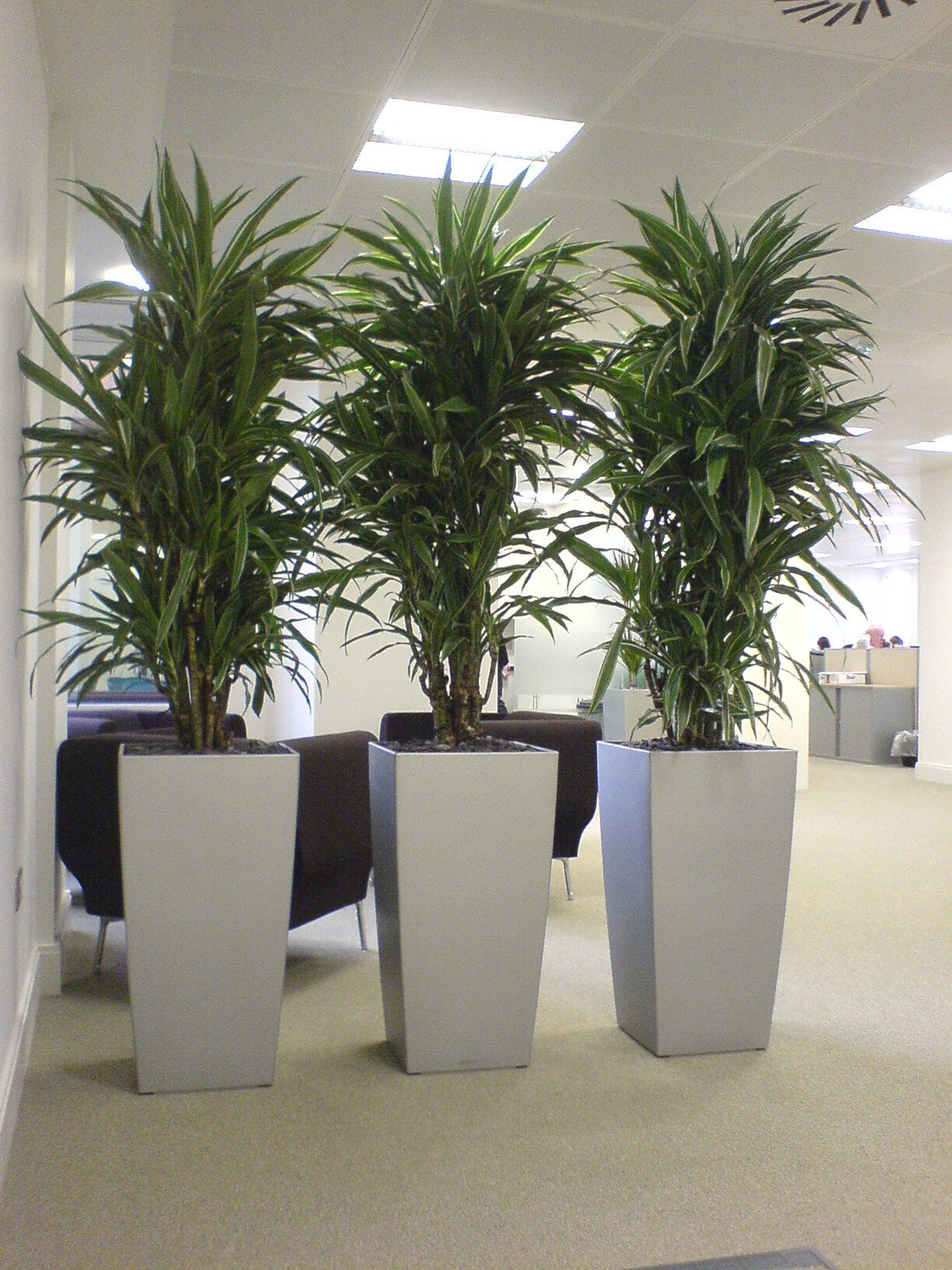 inspiration tall indoor house plants. Division psychologique et zen Cool Dracaena plants in silver cubico lechuza  planters great for low lighting office Warneckii used as a screen very practical