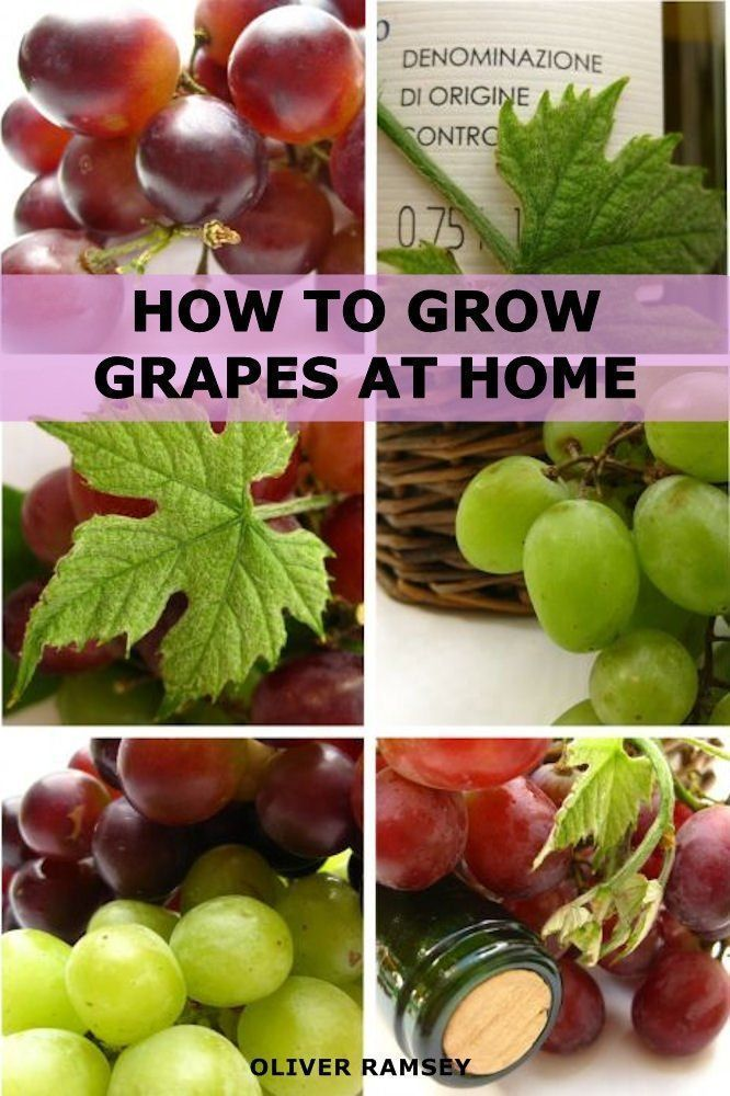 How to Grow Grapes at Home: Dummies Guide to Growing ...