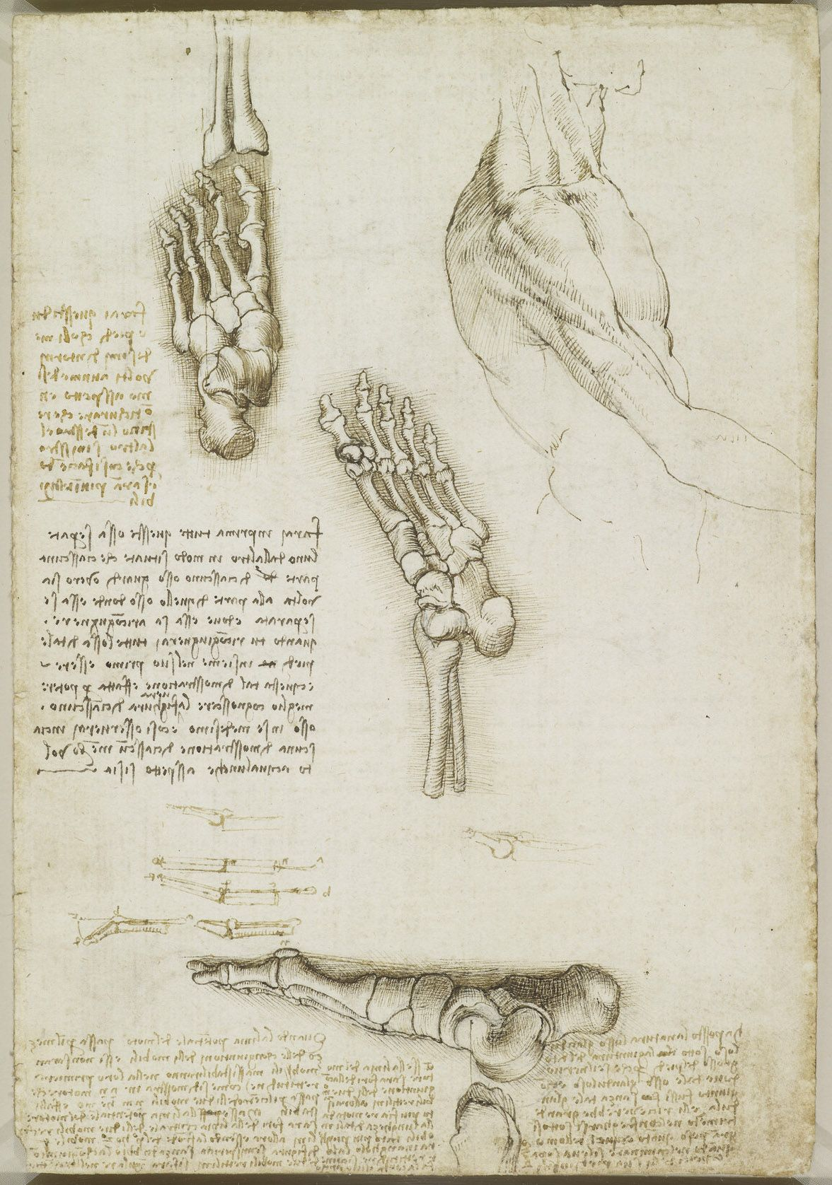 Recto The Bones Of The Foot Verso The Bones And Muscles Of The