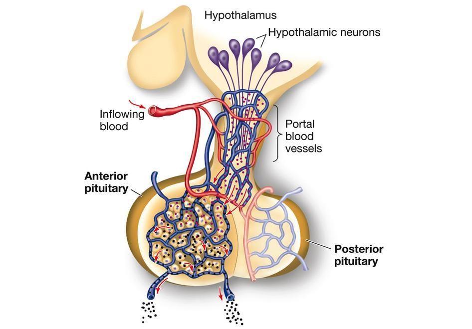 Anterior Pituitary Anatomy Unit 4 Anterior Pituitary Portal