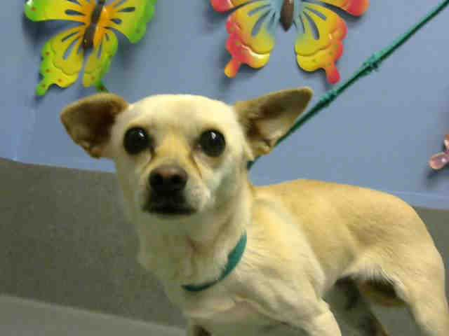 URGENT ID#A449390  I am described as a female, tan Chihuahua - Smooth Coated mix.  The shelter thinks I am about 3 years old.  I have been at the shelter since May 16, 2015 and I may be available for adoption now.Moreno Valley, CA