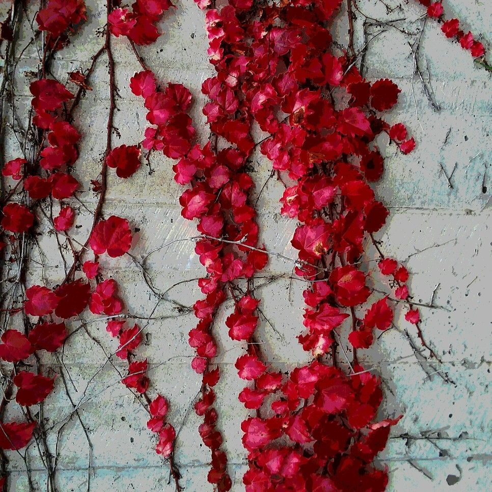 Red Vine On A White Brick Wall Red Flowers Red Vines White Brick