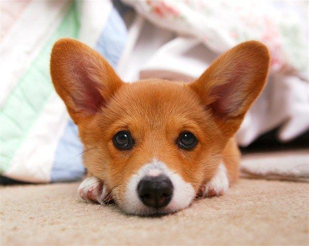 Image Pembroke Welsh Corgi Puppy Dog With Head On Paws C Jeff