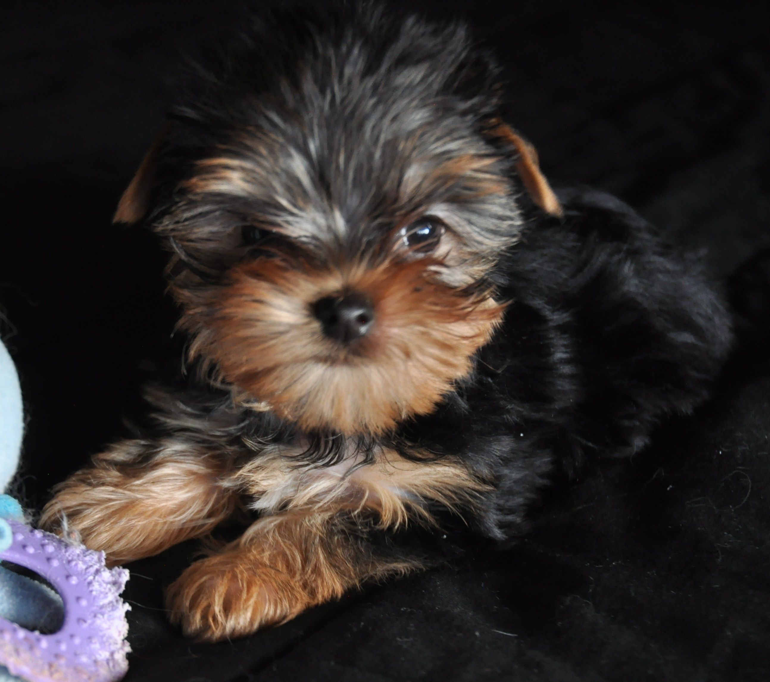 Learn more about our available certified Yorkie Puppies in