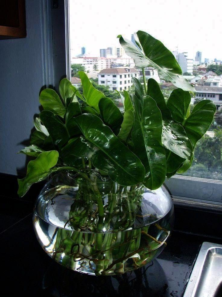No Soil Indoor Plants Ahometherapist Varuna Garden Wasserpflanzen Indoor Keine Erde Zimmerpflanzen Ahometherapist Varuna Garden gießen Wasserpflanzen Indoor Keine E...