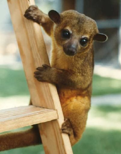 """Kinkajou A kinkajou, also called a """"honey bear,"""" is a nocturnal arboreal mammal whose diet mainly consists of fruits; it particularly enjoys figs."""