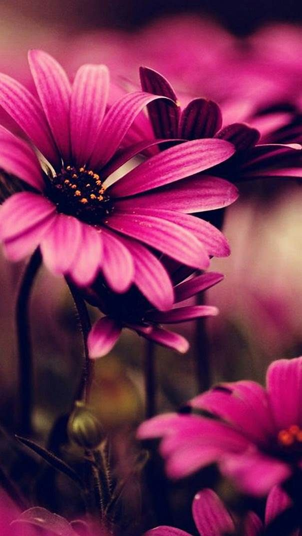 Image Result For Iphone 6 Pink Daisy Wallpaper With Images