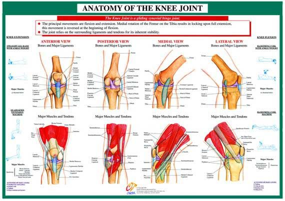 Anatomy Of Knee Joint Chart Joint Anatomy Series Chartex