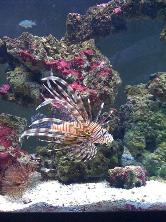 My Hubby S Lionfish My Hawaiian Feather Duster Feather Duster Lion Fish House Supplies