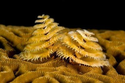 A Small Marine Worm Called A Spiral Gilled Tube Worm Aka Christmas Brain Coral Marine Photo Christmas Tree