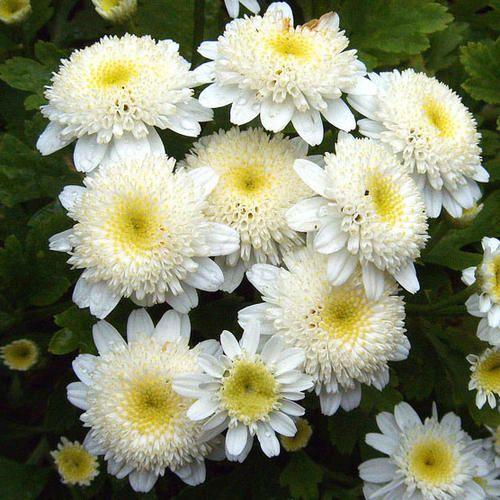 Tanacetum Parthenium White Bonnet Seeds Double Feverfew Chrysanthemum Flower Seeds Planting Flowers Flowers Perennials