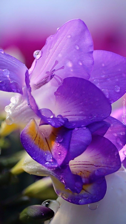 Fioletowe Frezje Flower Beauty Flowers Lilac