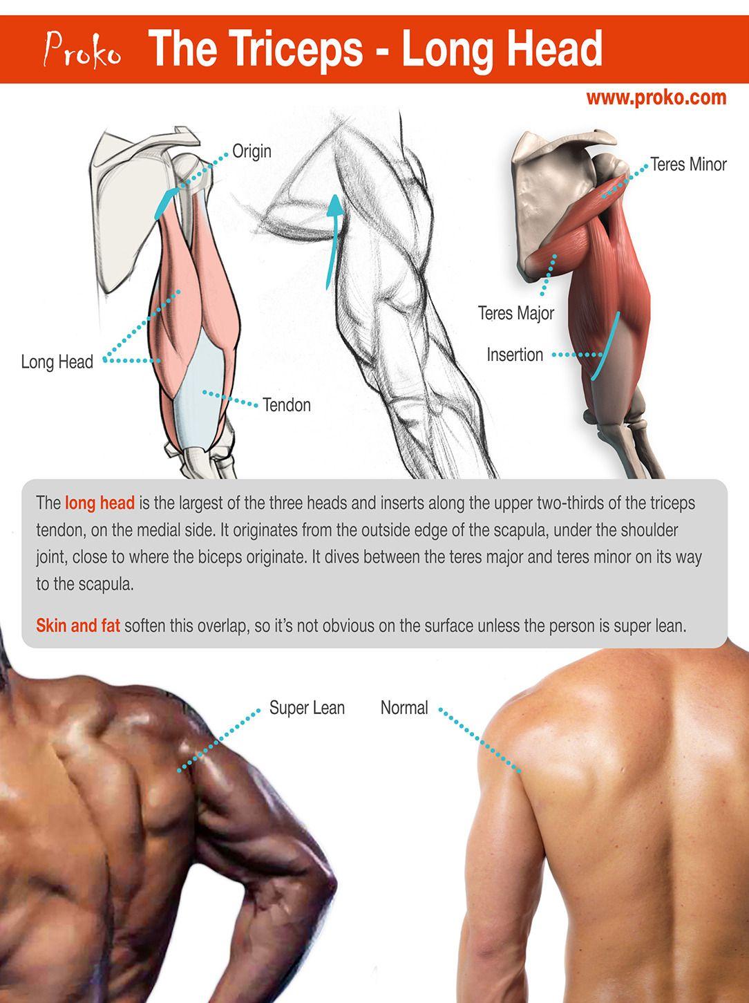 Stan Prokopenko | Anatomy: arms | Pinterest | Anatomía, Anatomía ...