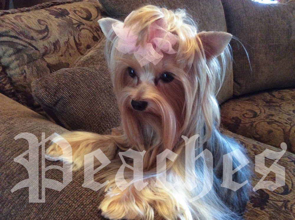 SCRAP MY WAY: Our Yorkie PEACHES