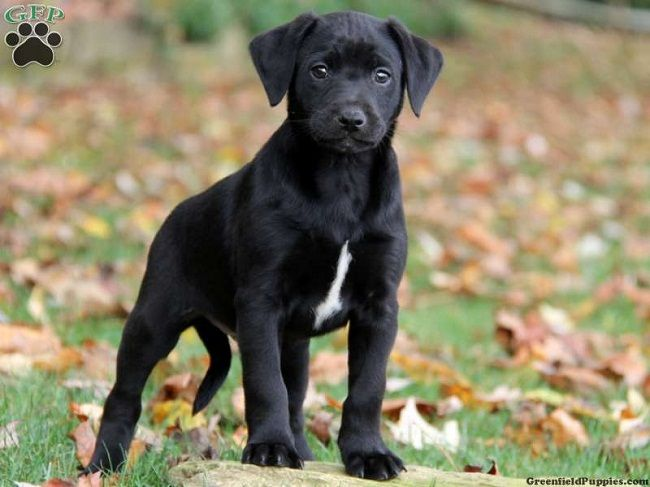 Lab Great Dane Mix Puppies For Sale Zoe Fans Blog Lab Mix Puppies