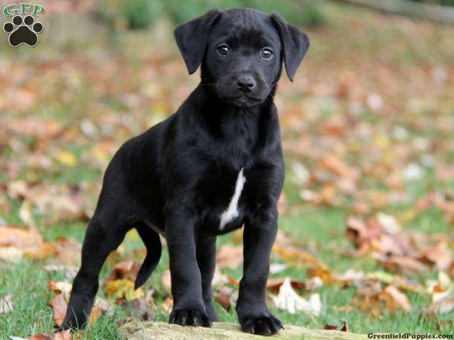 lab great dane mix puppies for sale Zoe Fans Blog Cute