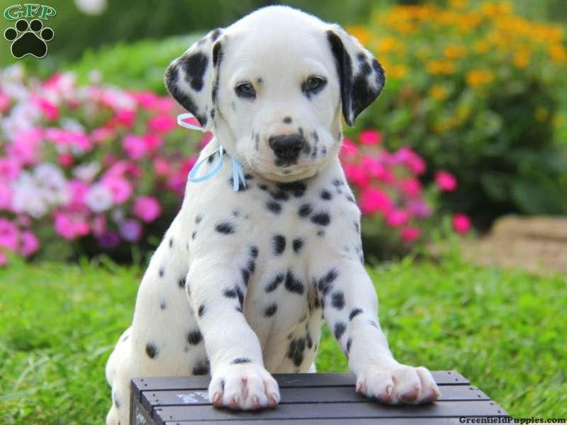 Marco Dalmatian Puppy For Sale in Pennsylvania