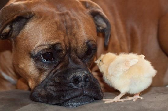 boxer chick magnet?