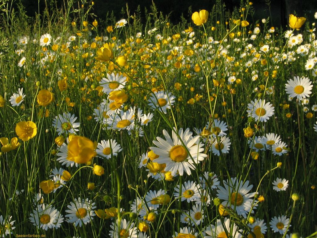 Blumenwiese Margeriten Blumen Wiese Blumenwiese Und Wiese