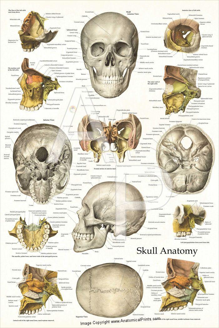 Skull Anatomy Poster | Skull | Pinterest | Skull anatomy, Anatomy ...