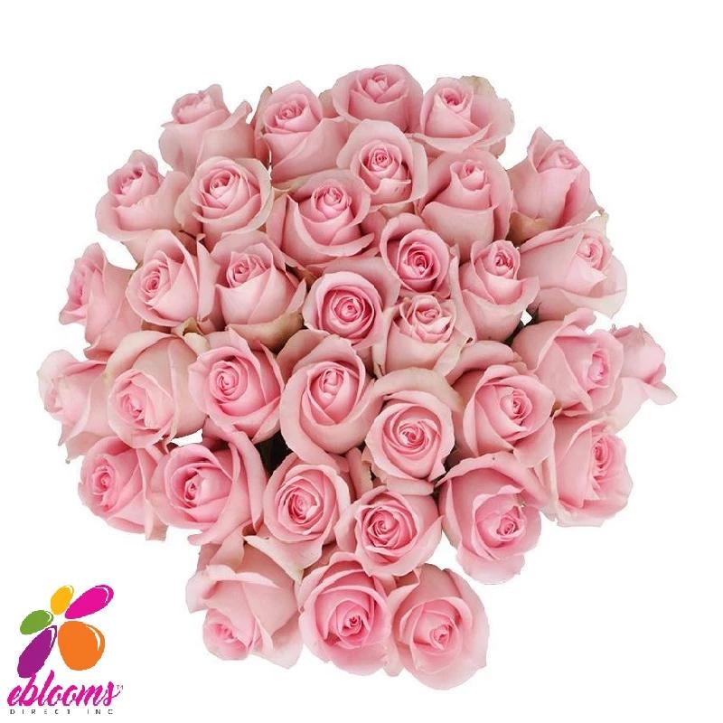 Jessika Rose Variety Pink EbloomsDirect Rose varieties