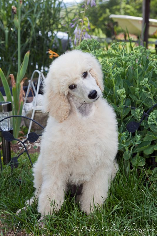 Cream Standard Poodle Puppy With Images Poodle Dog Poodle