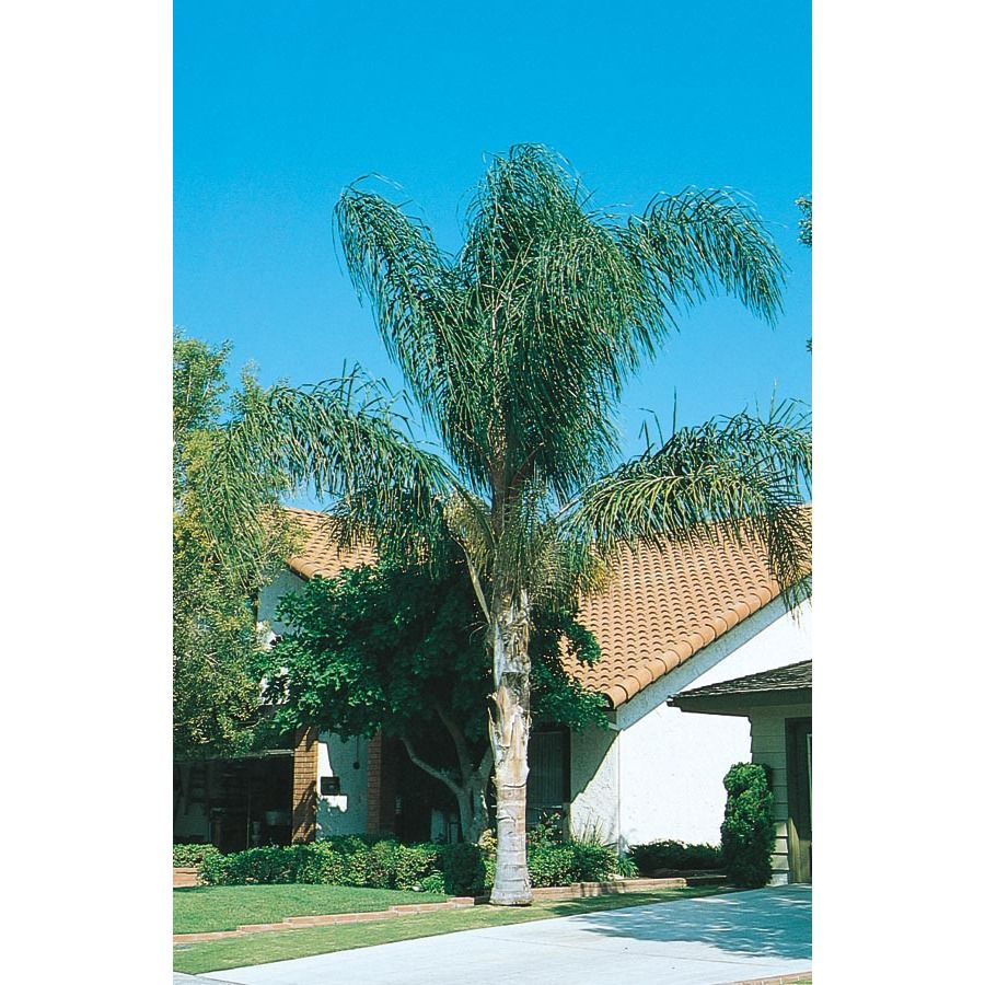 12 Gallon Queen Palm L6258 At Lowes