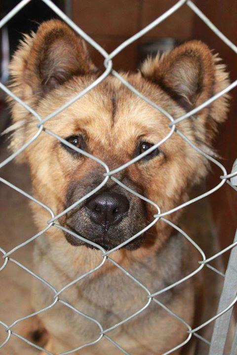 Adopt Cubbie On Dogs Chow Chow Dogs Labrador Retriever