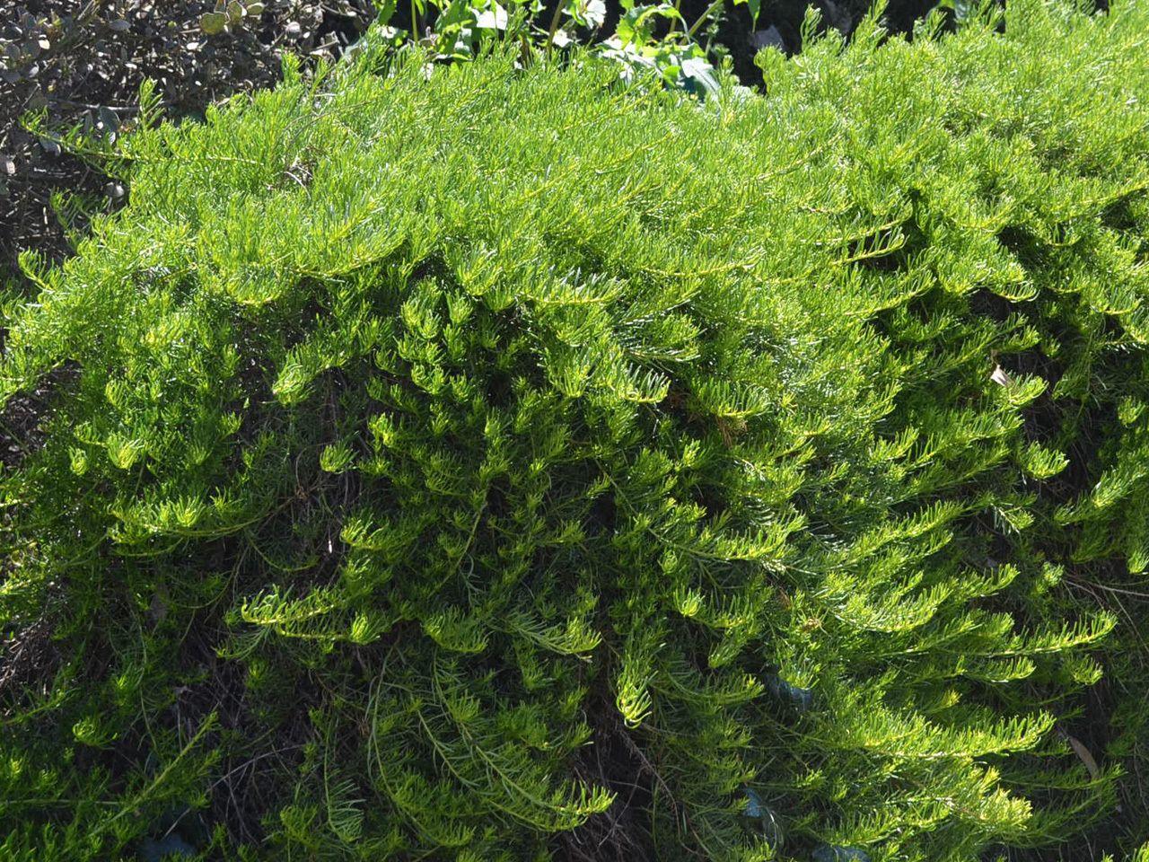 Picture of Live CreepingMyoporum aka Myoporum parvifolium 'Putah Creek' Plant Fit 1 Gallon Pot