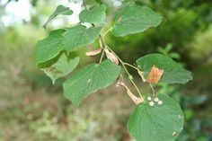 Linden Räucherwerk #einheimischepflanzen