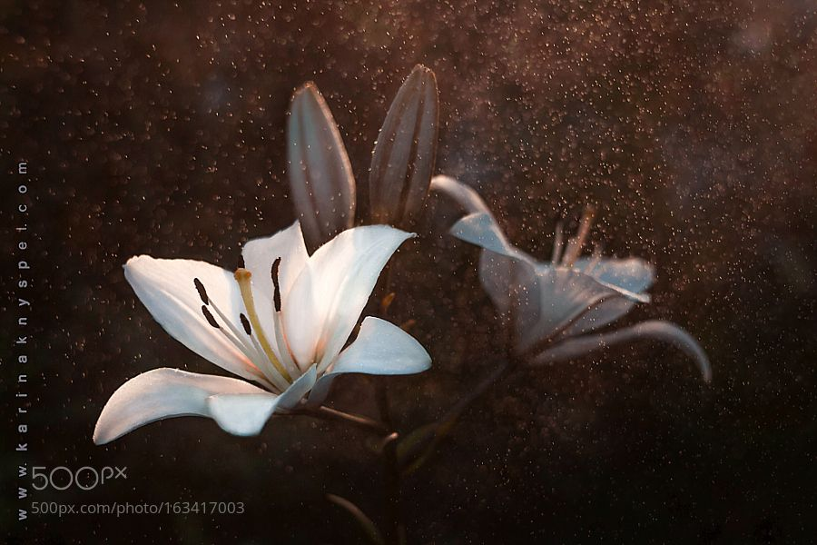 White lily. by salix237. @go4fotos