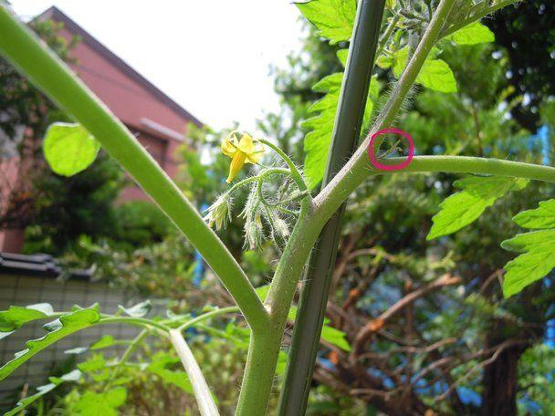 味が濃いミニトマトを作ろう トマトの栽培 ミニトマト プランター