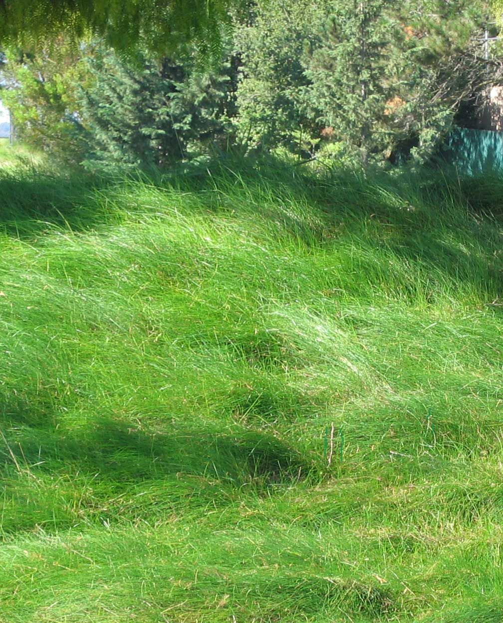 Creeping Red Fescue Lawn Red Fescue Is Native And Drought