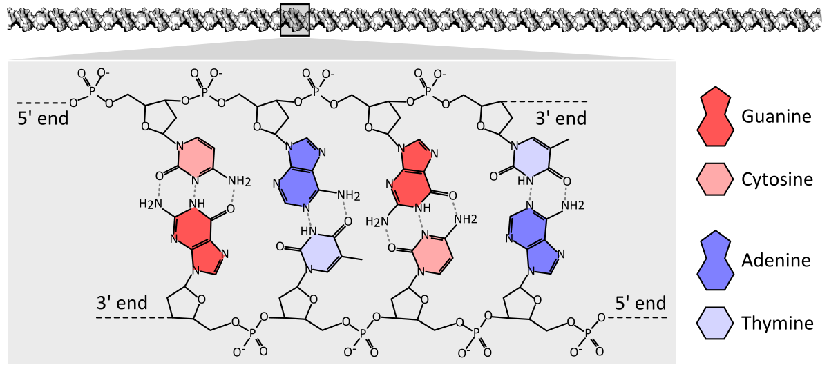 Dna Chemical Structure Diagram Showing How The Double Helix Consists