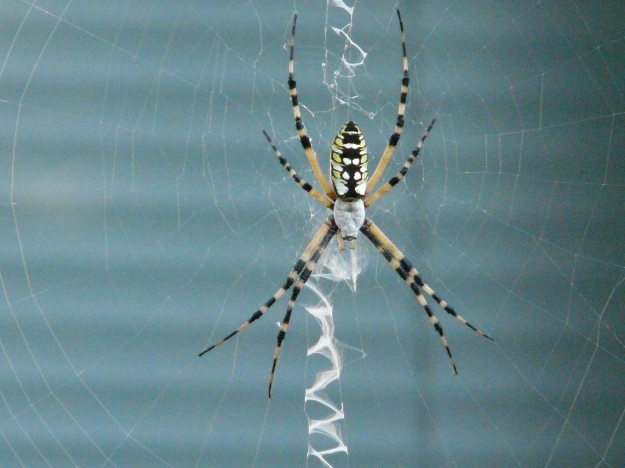 banana spider nephila clavipes typically a black and yellow spider