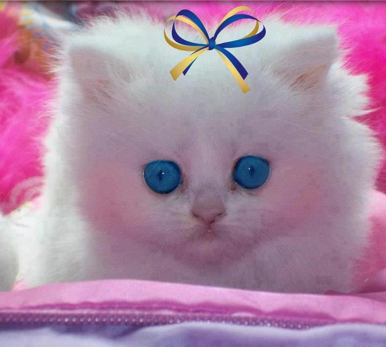 Pretty Blue Eyes With Images Kittens Cutest Kitten Wallpaper
