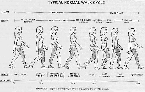 17 Best images about Human Body on Pinterest   Home, Walking and ...