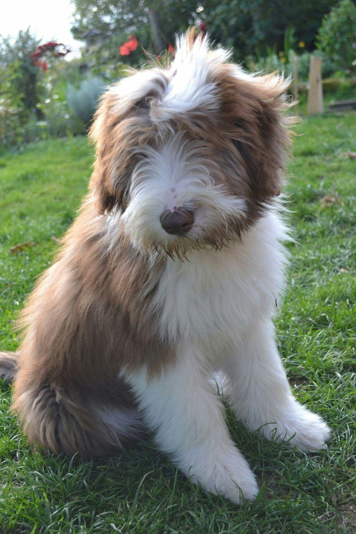 Puppy Love X Bearded Collie Puppies Pet Breeds Bearded Collie