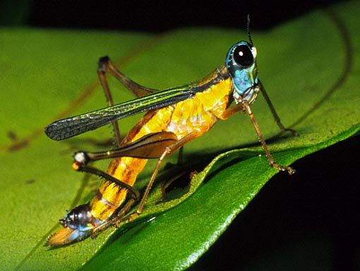 how to make a grasshopper insect