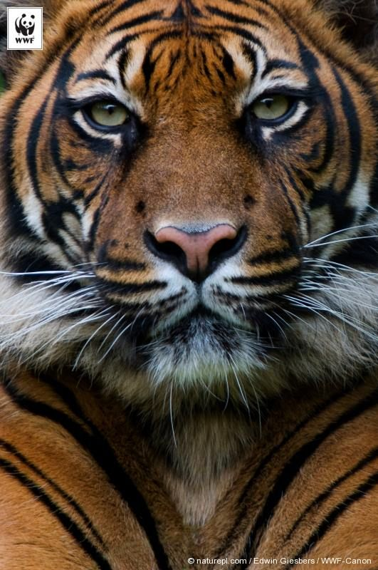 How about a TIGER TUESDAY today?  Test your knowledge of these amazing animals... Here's the first question:  The Sumatran tiger has the thickest fur of all tigers: True or False?   Tell us below and if you want more quizzes, play our new Mythcrackers game as part of our Seize Your Power campaign http://panda.org/play_mythcrackers